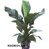 绿植盆栽,绿霸王