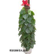 植物租赁,青叶藤