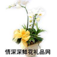 蝴蝶兰,白蝴蝶兰