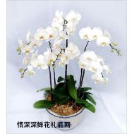 盆栽兰花,雪白蝴蝶兰