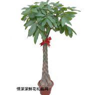 绿叶植物,发财树