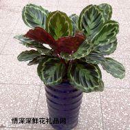 绿叶植物,美丽竹芋