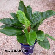 绿叶植物,绿地王