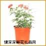鲜花盆栽,绣珍玫瑰(国产)