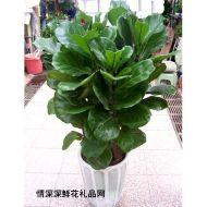 绿叶植物,琴叶榕