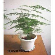 绿植盆栽,文竹