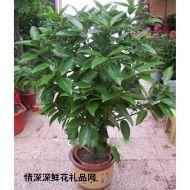 绿叶植物,元宝树