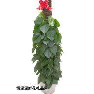绿叶植物,青叶藤