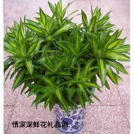 植物租赁,百合竹