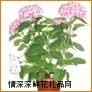 鲜花盆栽,绣球