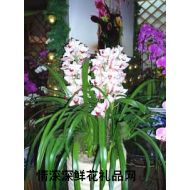 盆栽兰花,大花蕙兰